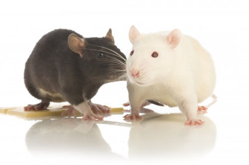 Rat Music Preference Experiment