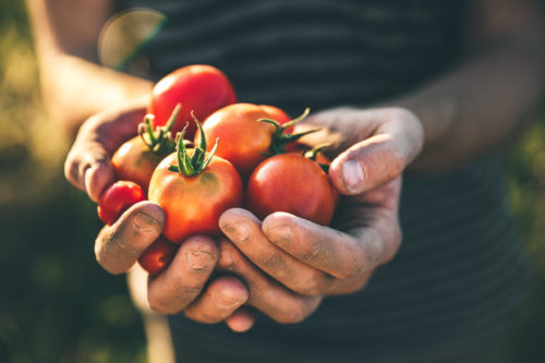 Image of tomatoes for our ranking of best ag scholarships